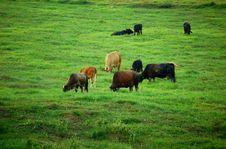 Free Cows Grazing Stock Photo - 6232040