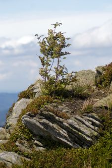 Free Rowan Tree At The Edge Of The Precipice Stock Images - 6232354