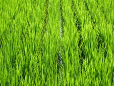 Free Luscious Green Wheat Field Stock Images - 6232784