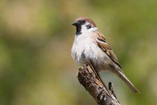 Free Bird - Tree Sparrow Stock Image - 6234541