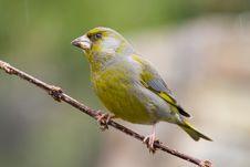 Free Bird - Greenfinch (Carduelis Chloris) Stock Image - 6234641