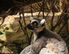 Free Lemur Royalty Free Stock Images - 6234819