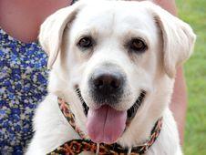 Free Labrador Stock Image - 6235111