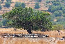 Free Sheep Under The Tree Royalty Free Stock Images - 6235139