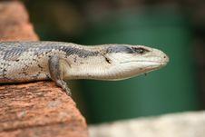 Blue-tongued Lizard On Bricks Stock Photos
