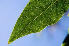 Free Green Leaf Royalty Free Stock Photos - 6235888