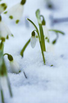 Free Snowdrops Royalty Free Stock Photos - 6236388