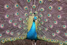 Free Peacock In Full Color Stock Images - 6237254
