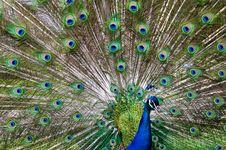 Free Peacock Royalty Free Stock Photos - 6237258
