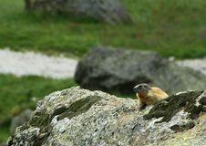 Free Marmot 02 Royalty Free Stock Image - 6237916