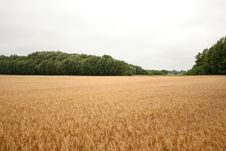 Free Rye Field Royalty Free Stock Photography - 6238137
