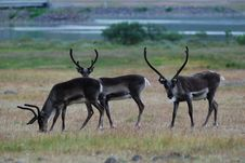 Reindeer In Iceland Royalty Free Stock Photography