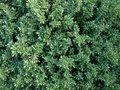 Free Hedge, Evergreen Royalty Free Stock Photos - 6242738