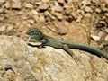 Free Lizard From Formentera Stock Photography - 6242752