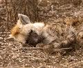 Free Sleeping Hyena Royalty Free Stock Photos - 6248298
