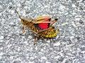 Free Daytona Beach Grasshopper Stock Photos - 6249823