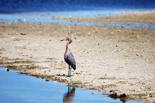 Reddish Egret Royalty Free Stock Images