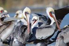 Free Pelicans Royalty Free Stock Photos - 6240198