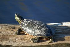 Free Mud Turtle Stock Photo - 6240400