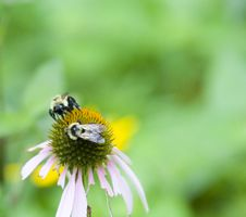 Free Two Bees On Flower Stock Photos - 6240653
