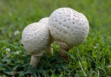 Free Puffball Mushrooms Royalty Free Stock Photography - 6241167