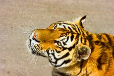 Free Siberian Tiger Stock Image - 6242001