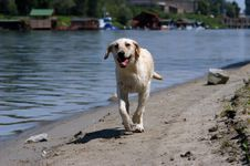 Free Labrador Retriever Running Royalty Free Stock Images - 6242539