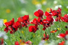 Free Red Poppies Stock Photography - 6242542
