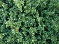 Free Hedge, Evergreen Royalty Free Stock Photos - 6242738