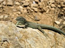 Lizard From Formentera Stock Photography