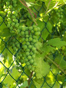 Free Unripe Grapes 2 Royalty Free Stock Photo - 6243545