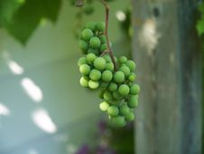 Free Unripe Grapes 3 Royalty Free Stock Photography - 6243547