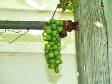 Free Unripe Grapes 6 Royalty Free Stock Images - 6243569
