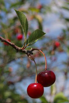 Free Cherry Royalty Free Stock Photo - 6243775