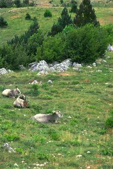 Cows Over Mountain Meadow Royalty Free Stock Image