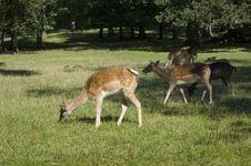 Free Deers Royalty Free Stock Image - 6244326