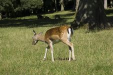Free Deer Royalty Free Stock Photography - 6244337