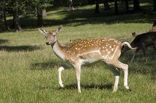 Free Deer Stock Photo - 6244350