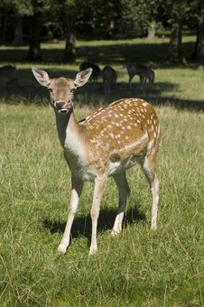 Free Deer Royalty Free Stock Photography - 6244367