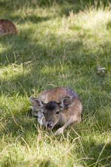 Free Deer Royalty Free Stock Image - 6244396