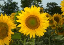 Free Sunflowers Royalty Free Stock Photography - 6245287