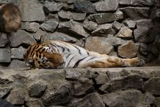 Lying Tiger Royalty Free Stock Image