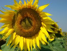 Free Sunflowers Royalty Free Stock Image - 6245606