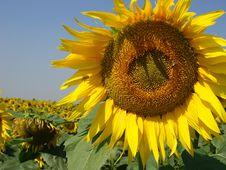 Free Sunflowers Stock Image - 6245641