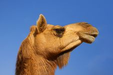 Head Of A Camel On A Background Of The Blue Sky Royalty Free Stock Photos