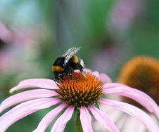 Free Bumblebee Stock Photo - 6245800