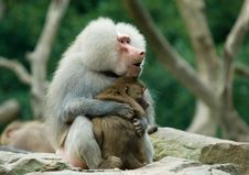 Free Baboon Monkey In Love Stock Photo - 6246500