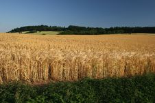 Free Barley Field With Blue Sky Royalty Free Stock Image - 6247696