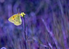 Free Butterfly On A Yellow Flower Royalty Free Stock Photo - 6247735