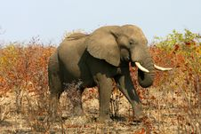 African Elephant On A Sunny Day Royalty Free Stock Image